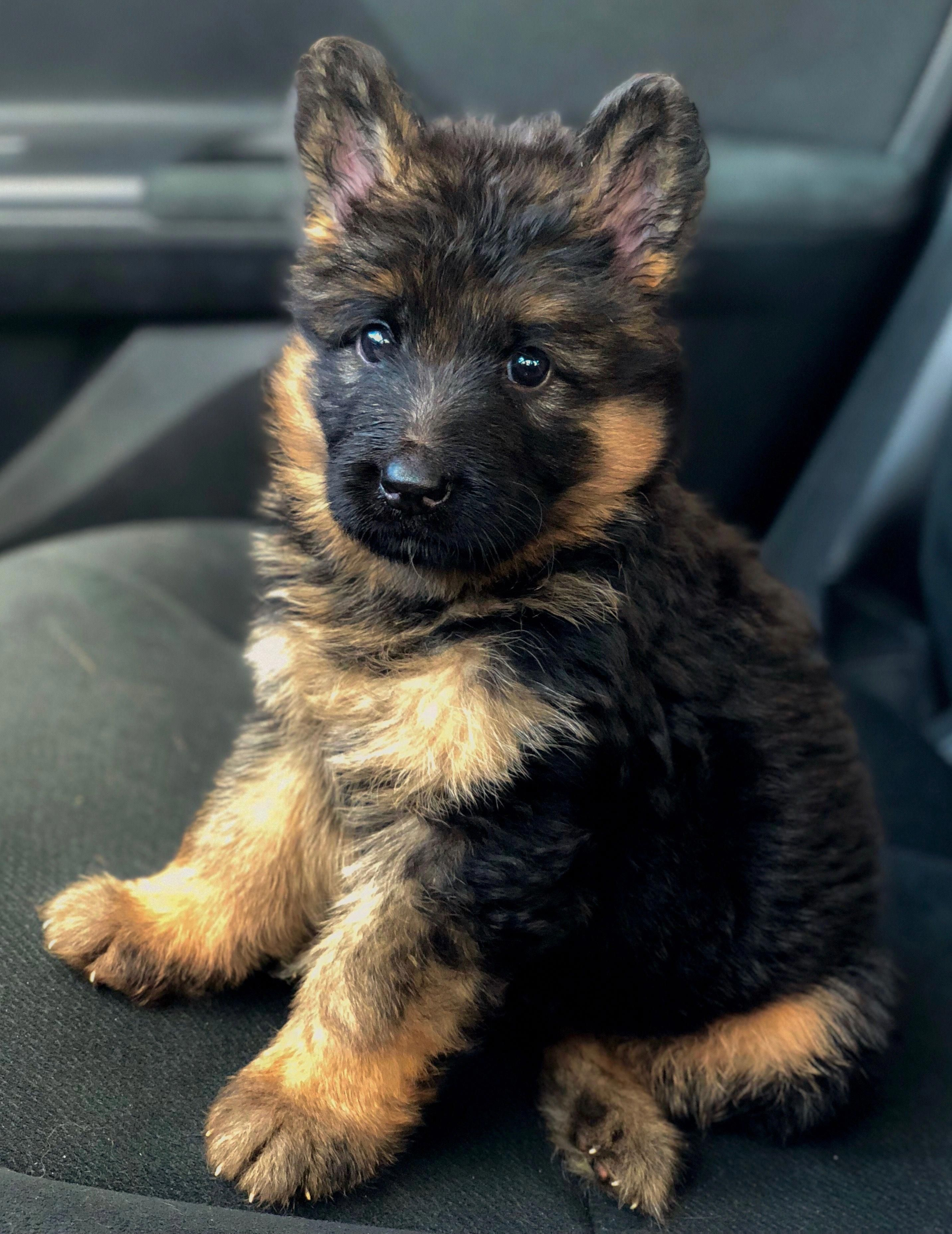 German Shepherd Strong And Loyal With Images German Shepherd Dogs Shepherd Dog German Shepard Puppies