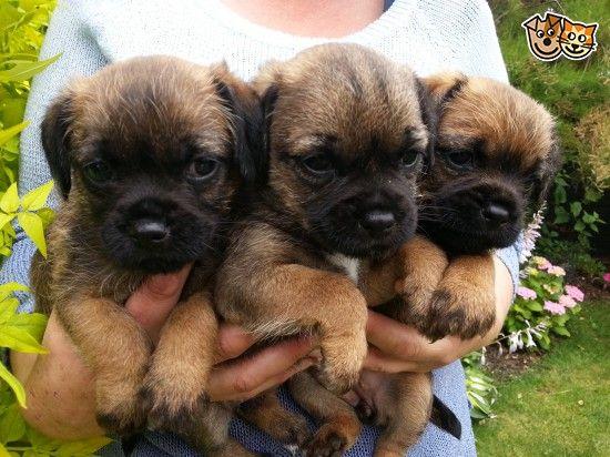 Border Terrier Puppies Pitbull Terrier Border Terrier Puppy
