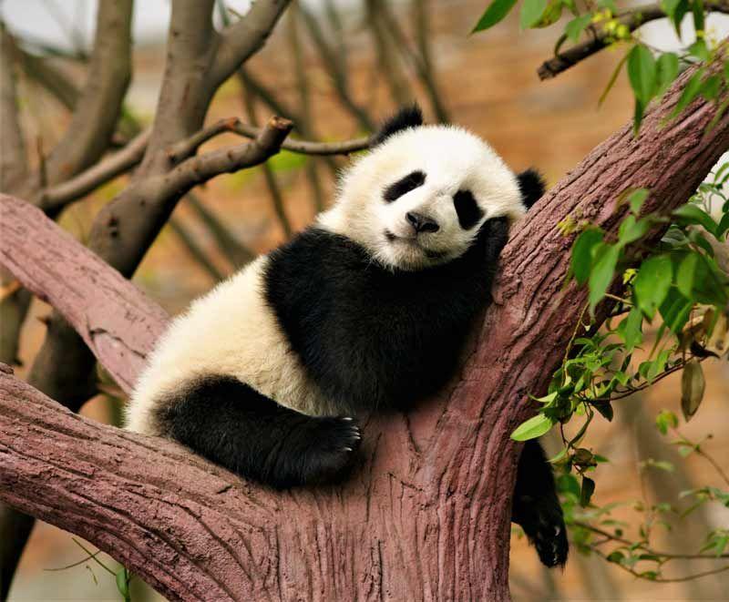 Oso Panda Durmiendo En El Arból Placidamente