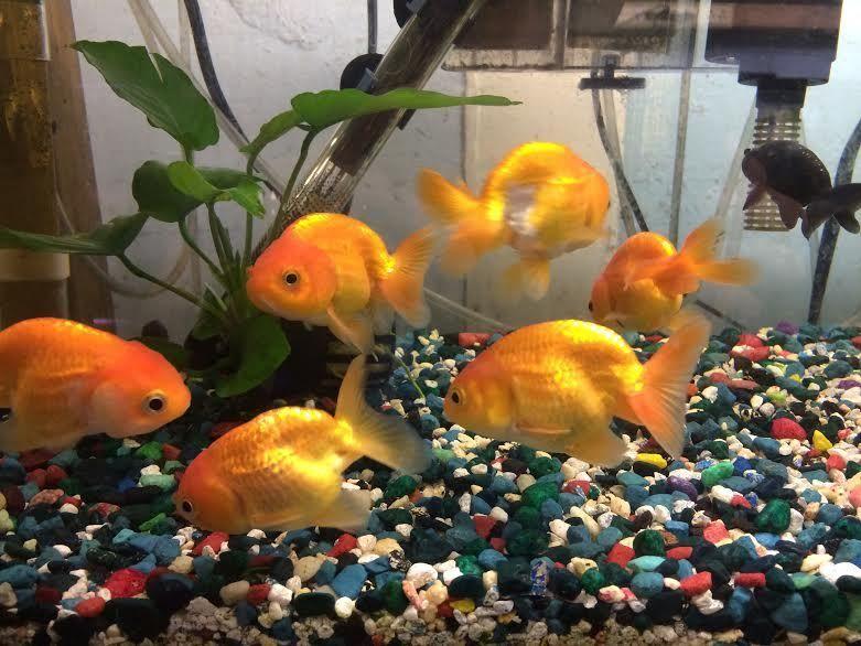 Ranchu Goldfish Goldfish For Sale Goldfish Tropical Fish