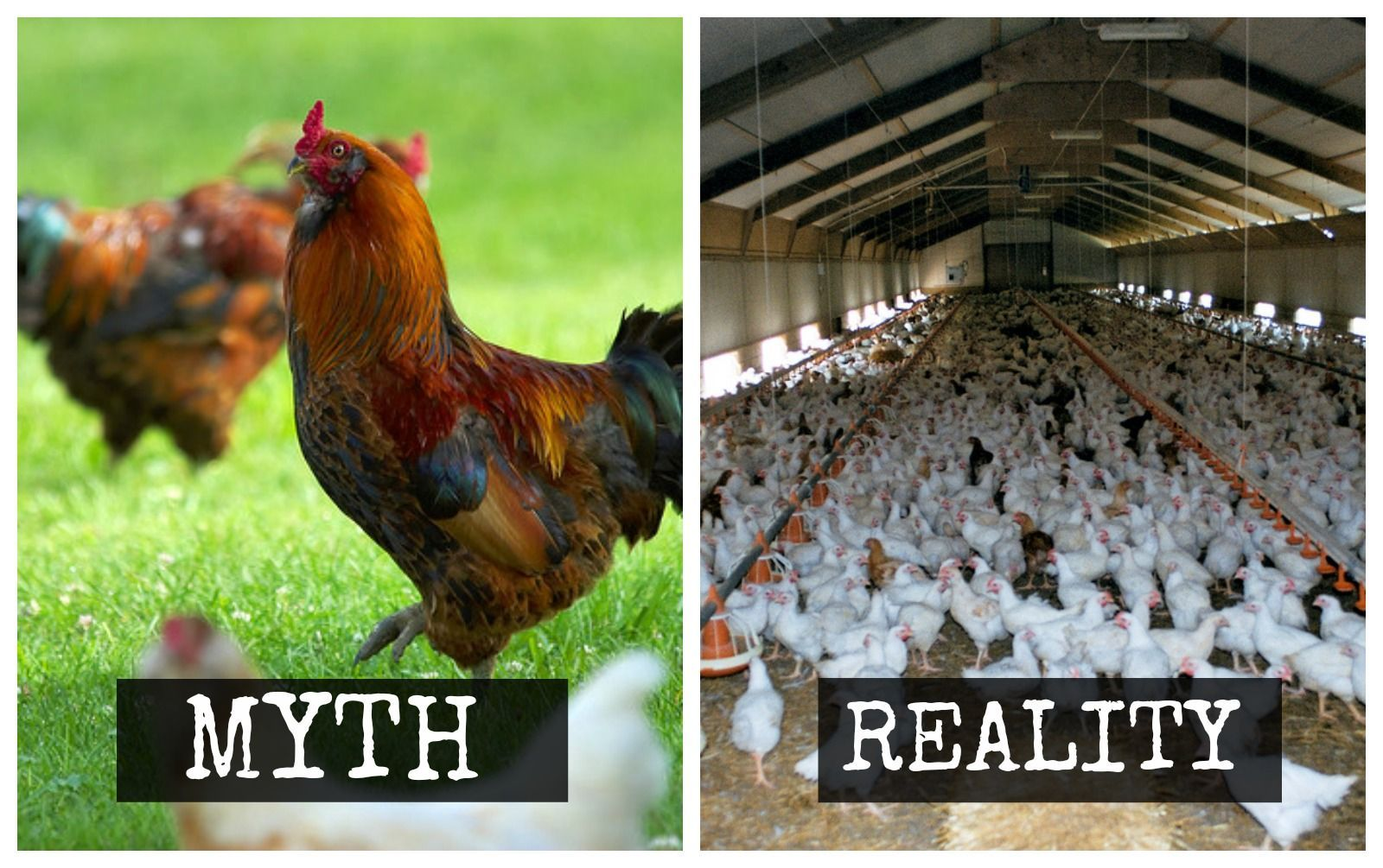 Think You Know 'Free-Range' and 'Cage Free' Chicken? Think ...
