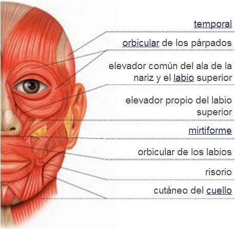 Sistema muscular   Músculos de la cara   Anatomía   Pinterest ...