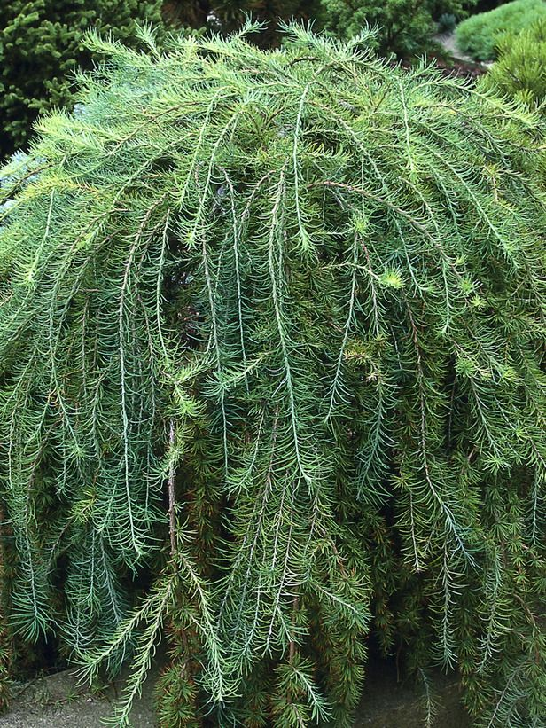 Weeping Larch Has Elegant Drooping Branches Conifers Garden Shade Trees Porch Landscaping