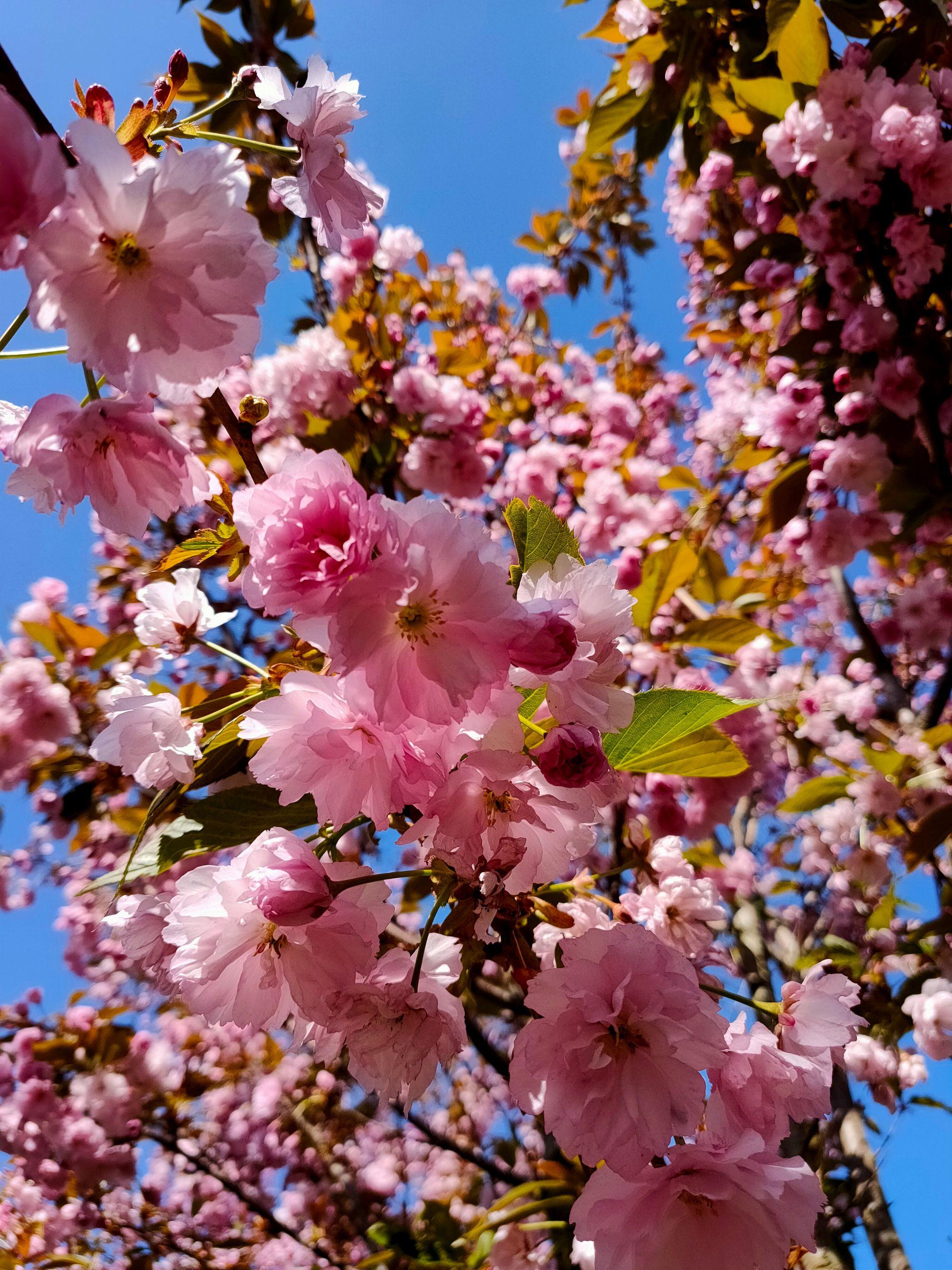 Prunus Serrulata Kanzan Prunus Serrulata Ornamental Cherry Flowering Trees