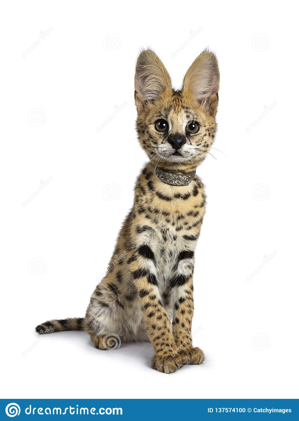 Cute 6 Months Young Serval Cat Kitten Isolated On White Background Photo About Safari African Leopard Fou Serval Cats African Serval Cat Cats And Kittens