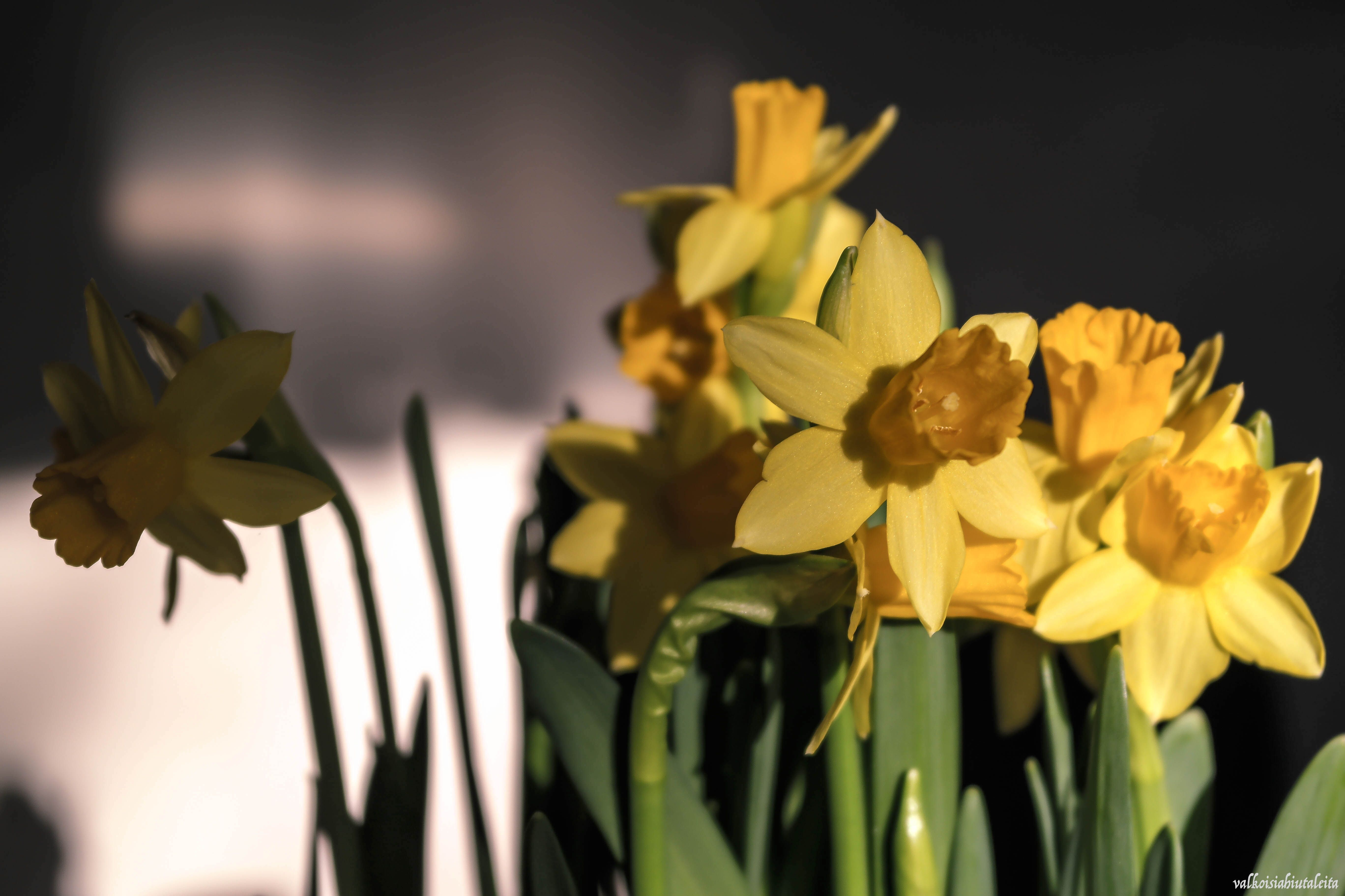 Spring is in the air.  Aamu on niin kirkas | kun taivaalta sataa valkoisia hiutaleita