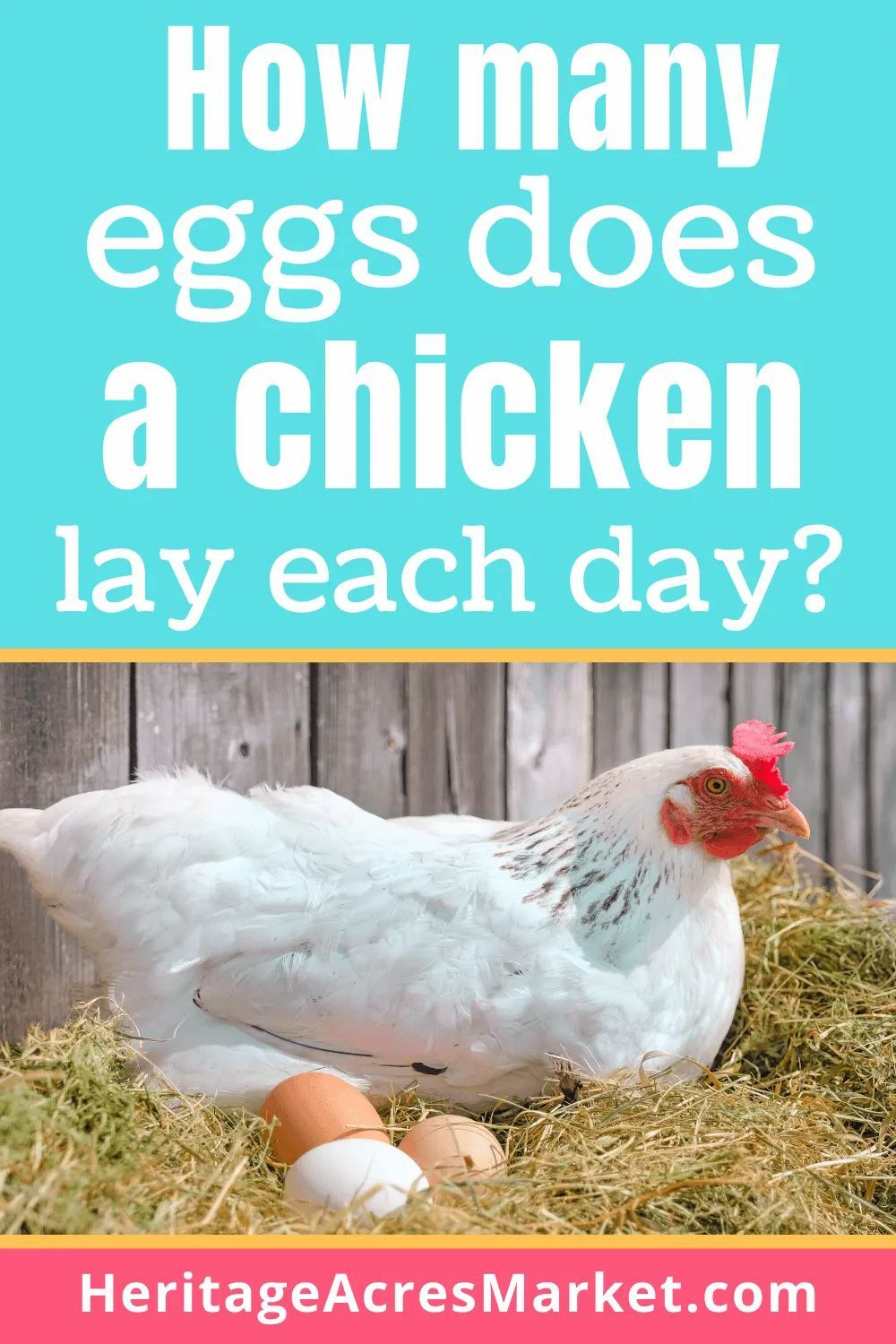 How Many Eggs Does A Chicken Lay A Day Egg Laying Chickens Laying Chickens Breeds Pet Chickens
