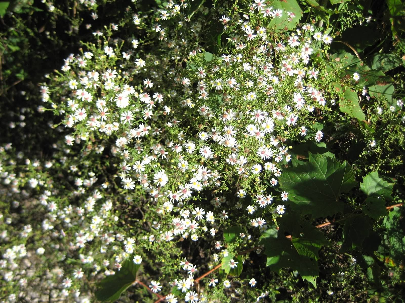 Image result for many flowered aster