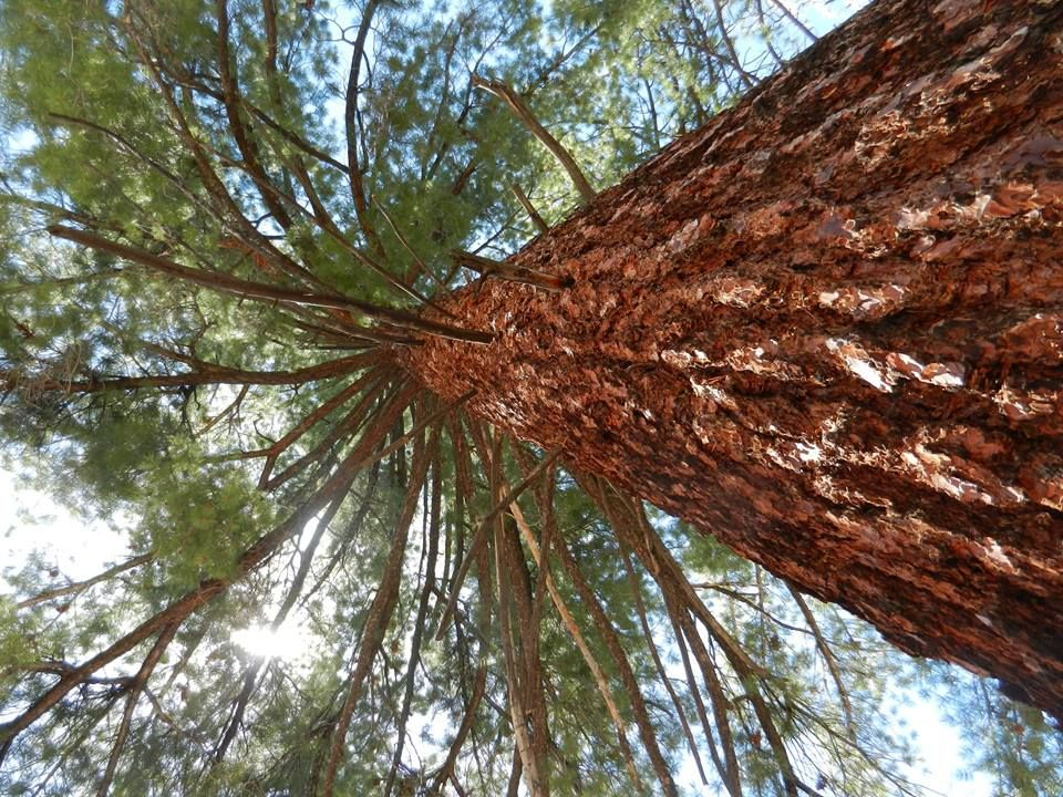 Sugar Pine - Sequoia National Forest 5-11-14