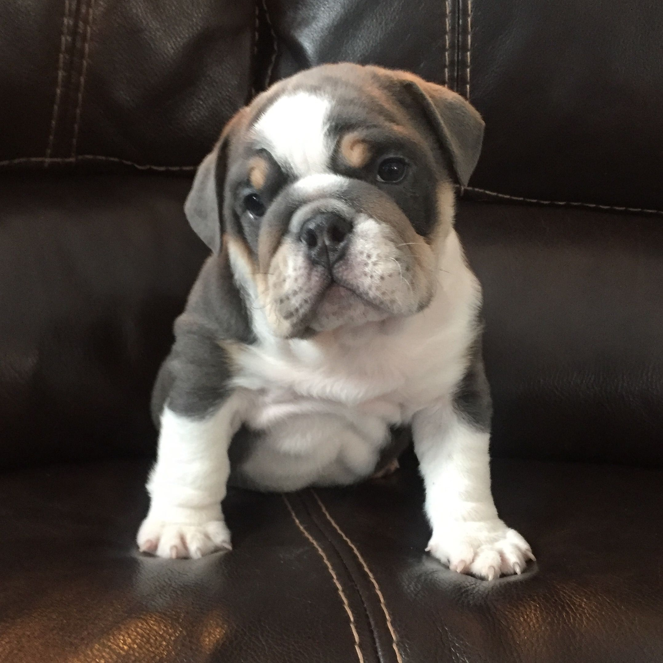 English Bulldog Puppy Englishbulldogpuppies Bulldog Breeds