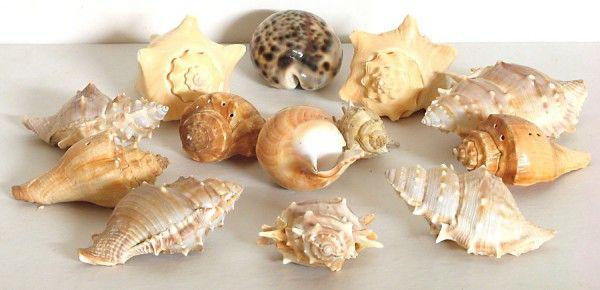 C mo limpiar conchas marinas para usos decorativos - Como hacer conchas finas ...