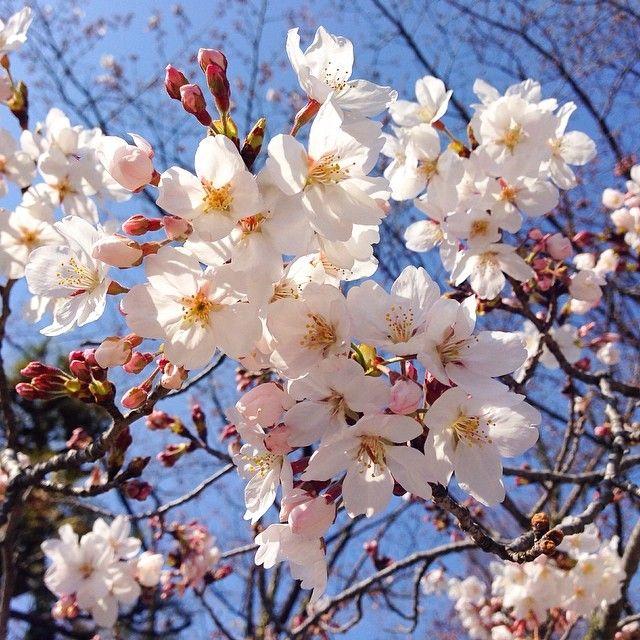 Instagram Blog Japanese Cherry Blossom Cherry Blossom Japan Cherry Blossom Scent