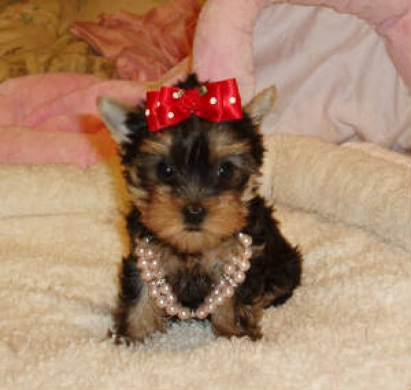 Teacup Yorkie Puppy For Sale In Colorado Yorkie Puppy Teacup Yorkie Puppy Teacup Yorkie