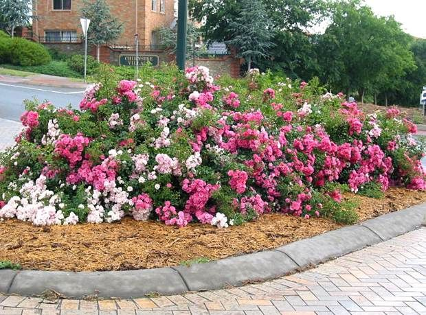 Flower Carpet 20 Years Young Desert Rose Plant Ground Cover Roses Ground Cover
