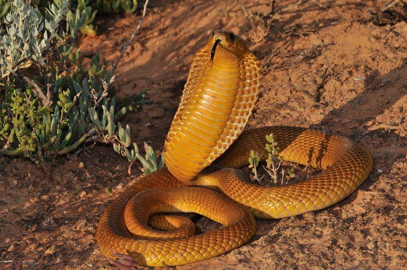The Cape Cobra Naja Nivea Venomous Serpentes Pinterest