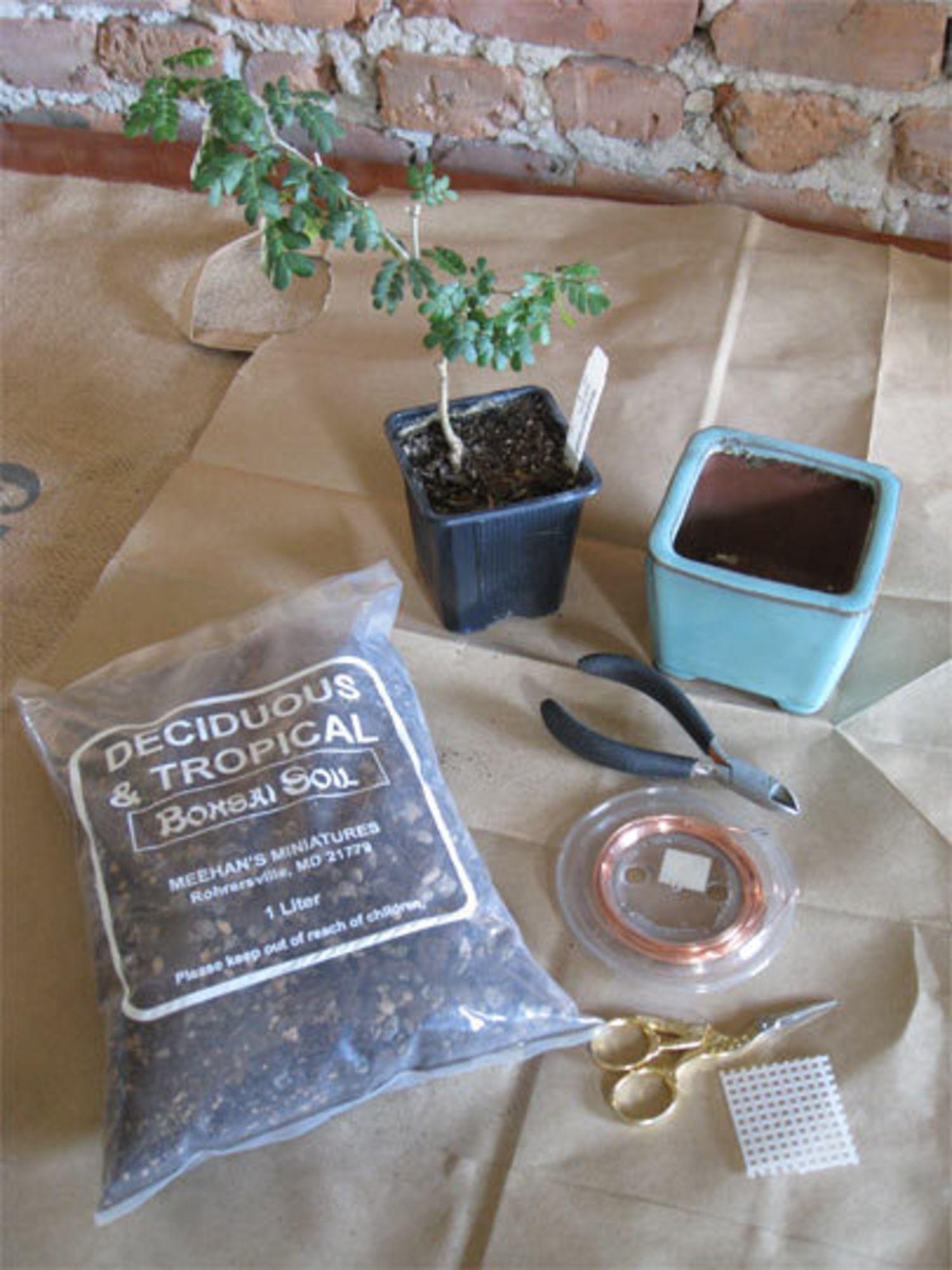 How To Pot & Care For a Bonsai Bonsai tree care, Bonsai