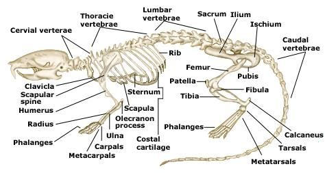 Rat Skeletal System Illustration With Parts Anm Thesis The Woods