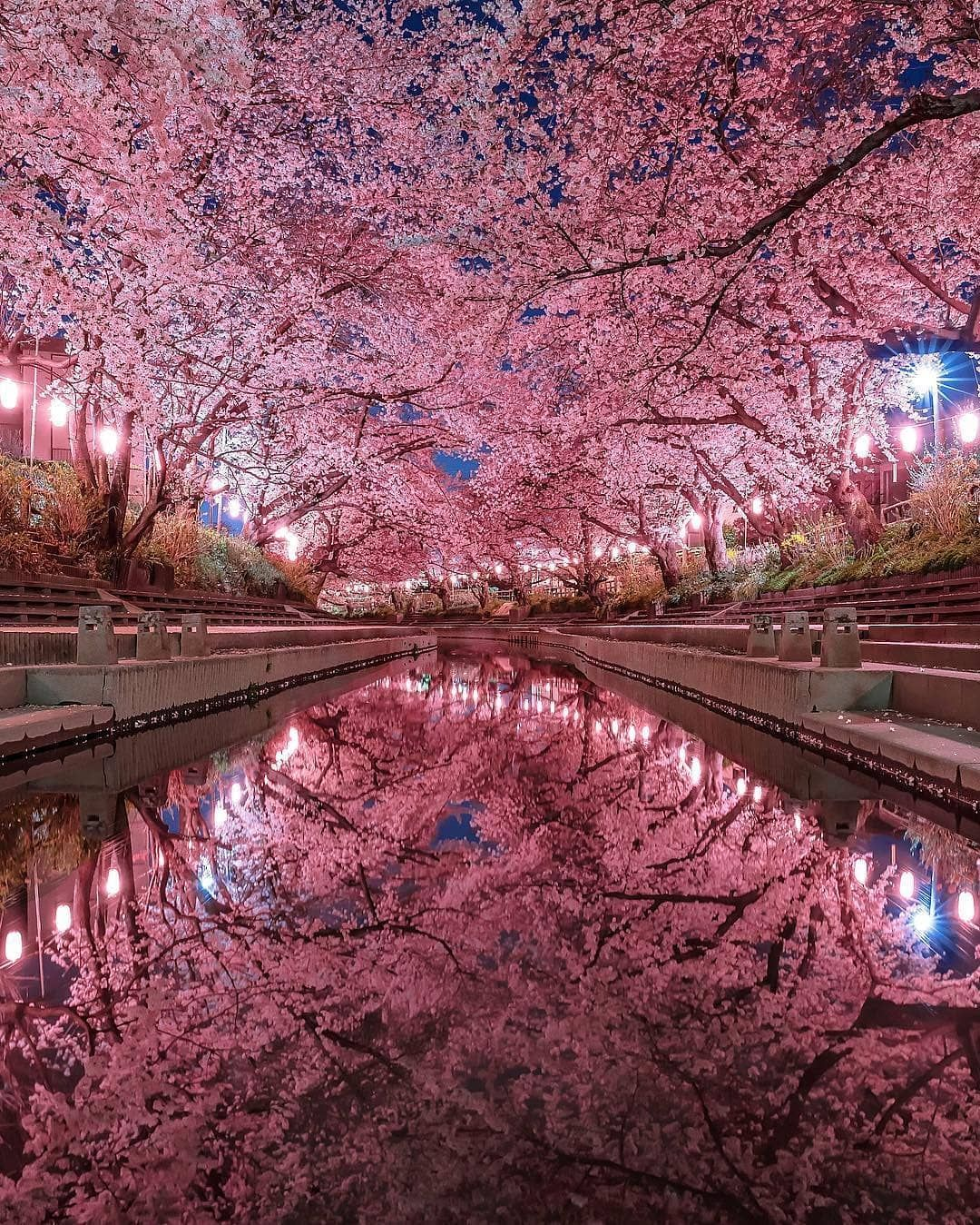 Visit Japan If You Think Cherry Blossoms Are Fantastic During The Day Imagine Walking Alon In 2020 Cherry Blossom Japan Japan Photography Nature Photography