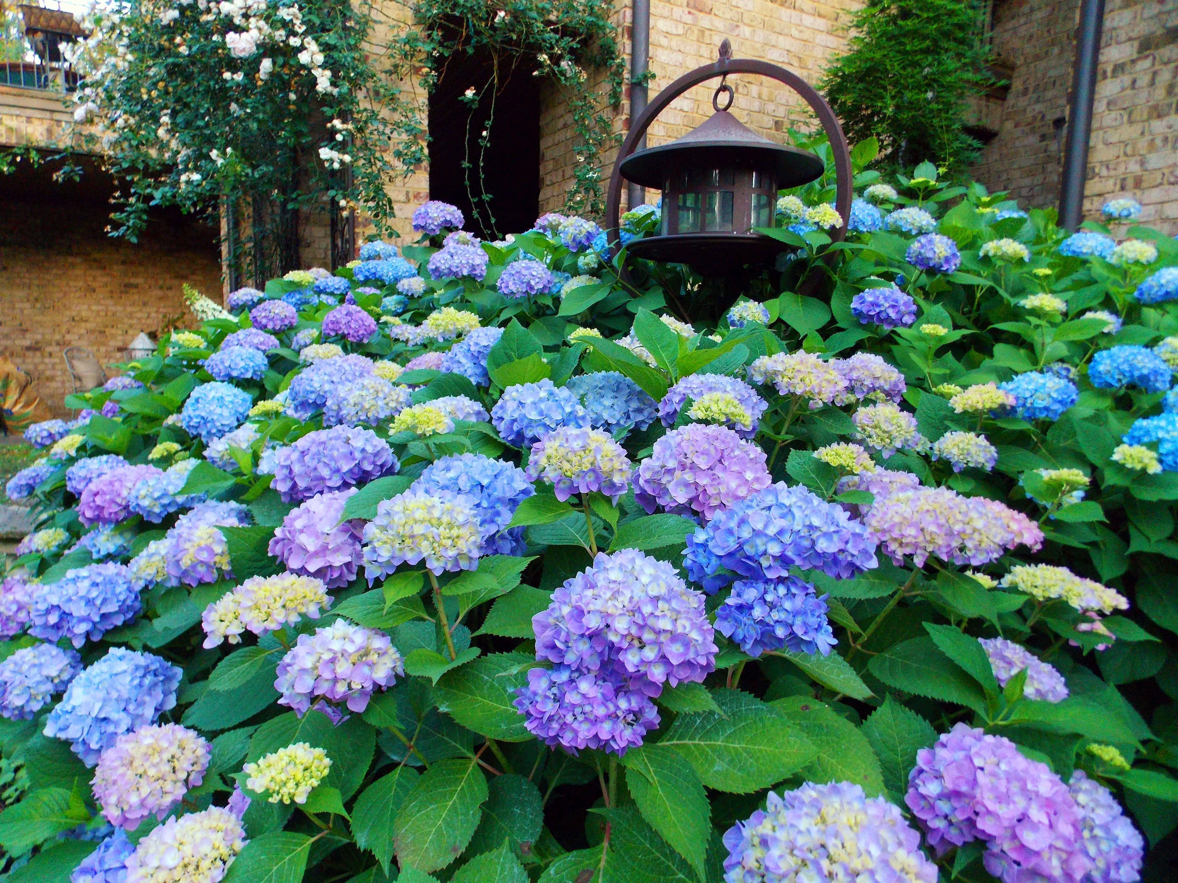 Mass Planting Of Hydrangea Macrophylla Endless Summer