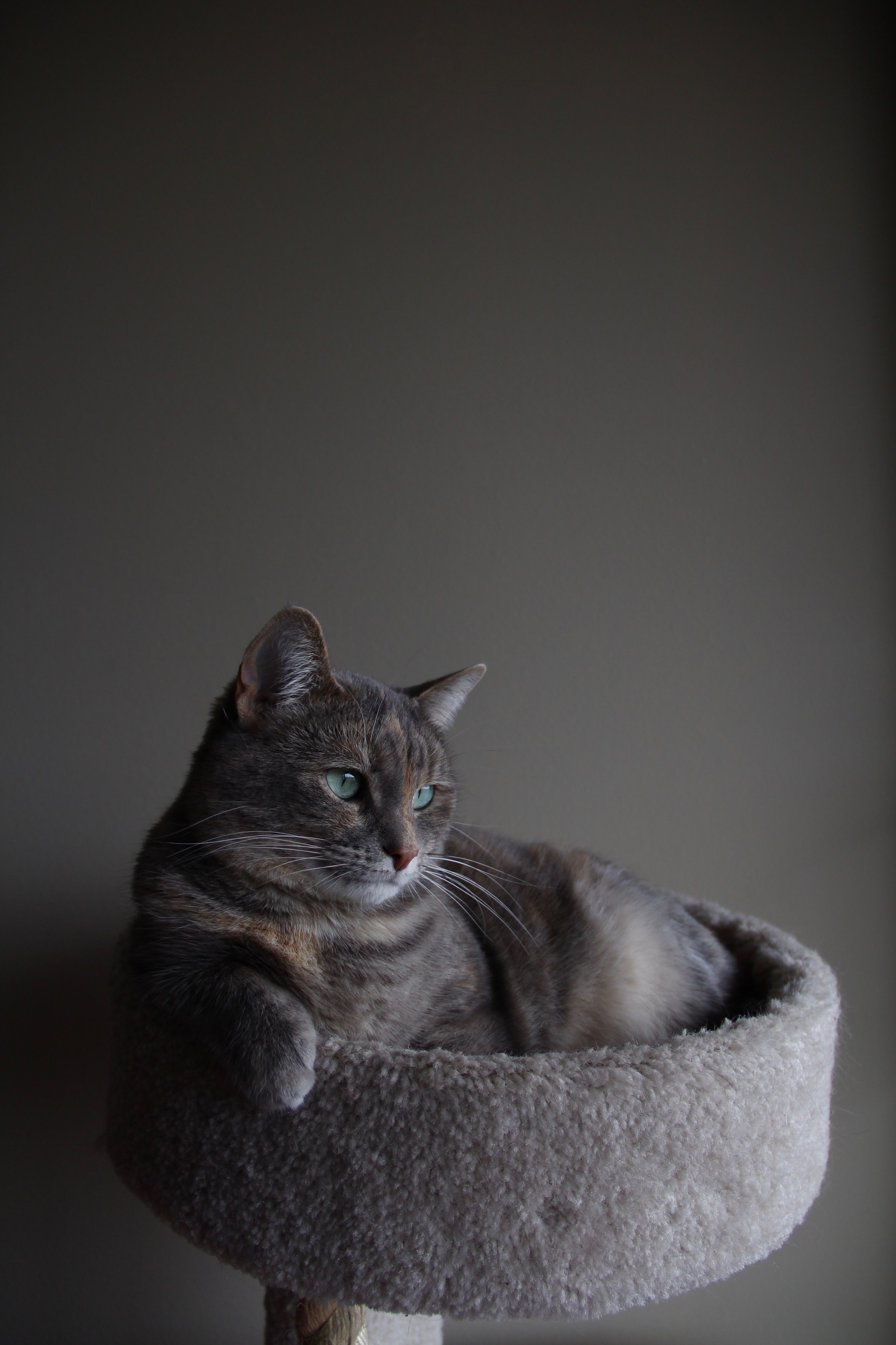 9 Impressive Cat Images Silver Tabby Cat On Gray Cat Tree Inside Room Cat Abyssinian Grey In 2020 Tabby Cat Silver Tabby Cat Cat In Heat