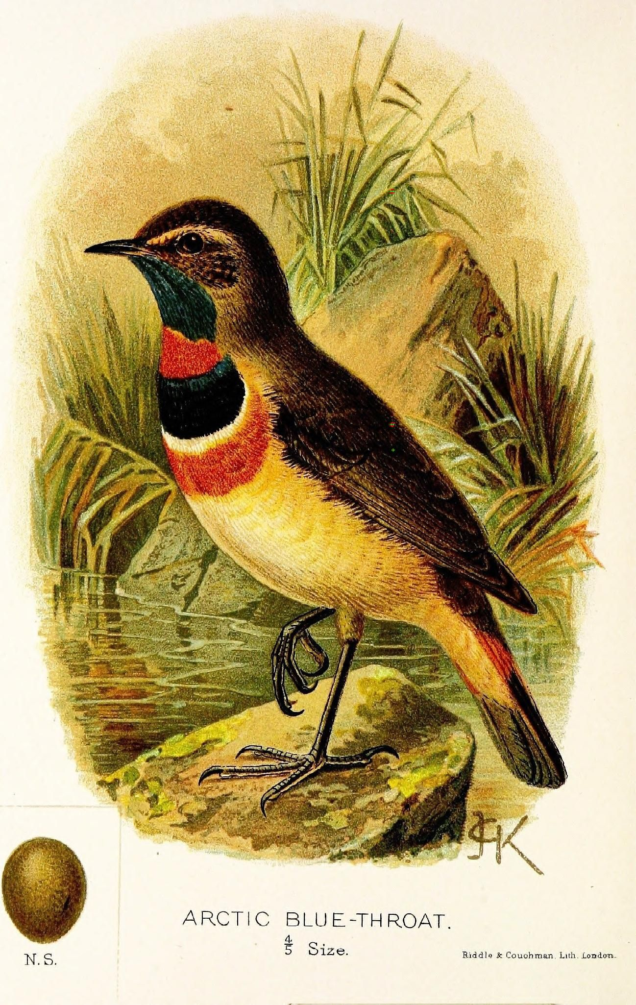 Un capítulo sobre las aves raras británicos Por Sharpe, Richard Bowdler s. por javier magdaleno