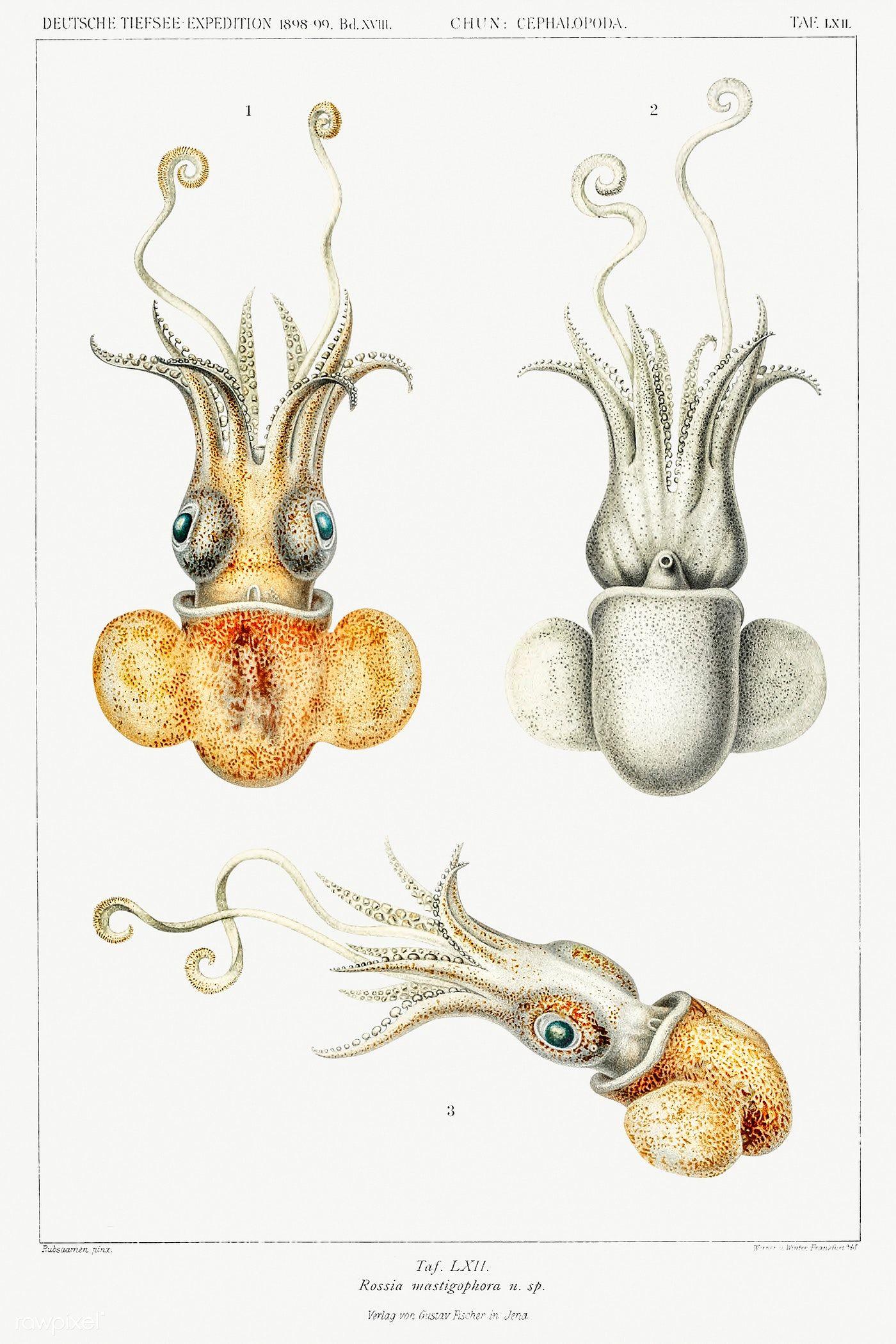 Bobtail squid illustration from Deutschen Tiefsee