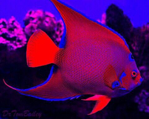 Blue Red Queen Angelfish Saltwater Aquarium Fish Beautiful Sea Creatures Salt Water Fish