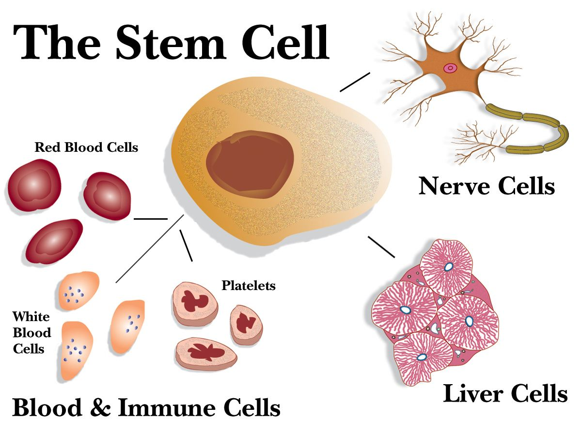 stem cells cord blood stem cell transplants have already changed  explore stem cell therapy immune system and more