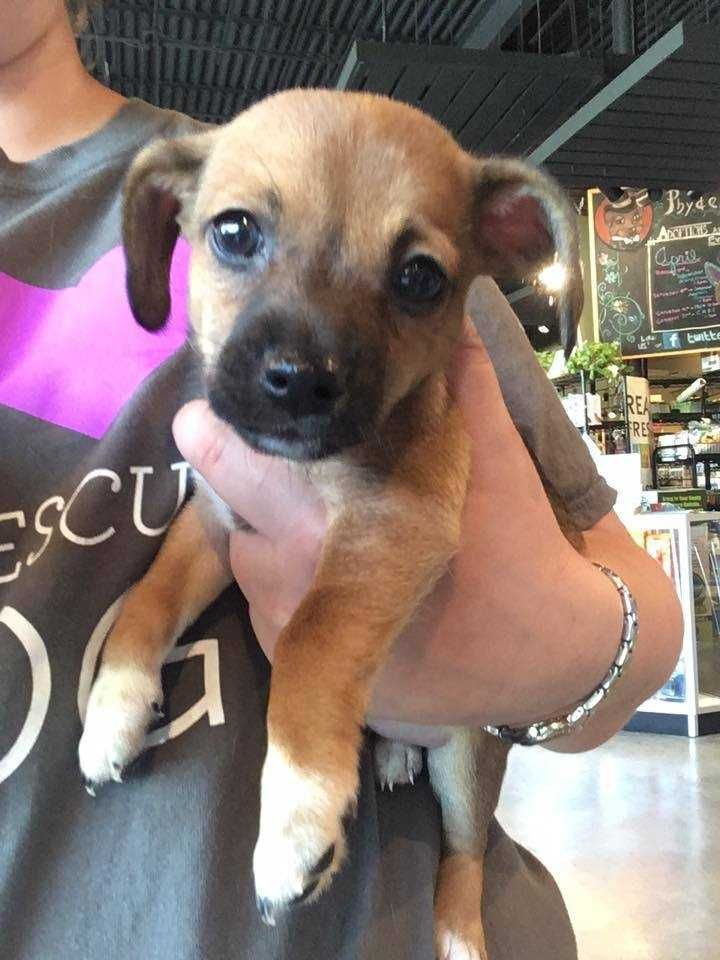Chihuahua dog for Adoption in Durham, NC. ADN530578 on