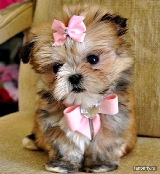 Dogs Breeds When It Comes To Dogs This Article Tells It All Click On The Image For Additional Details Teacup Puppies Maltese Cute Animals Teacup Puppies