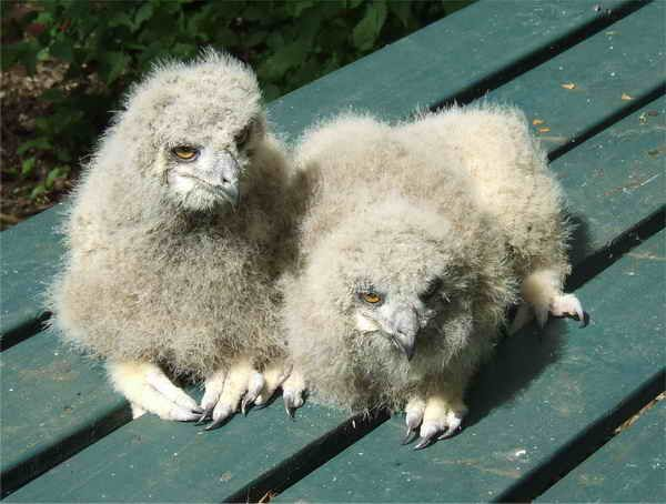 22-Photos-Of-Baby-Owls-10 | Baby barn owl, Baby owls ...