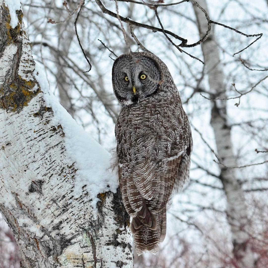Great Gray Owls | Great grey owl, Great backyard bird ...