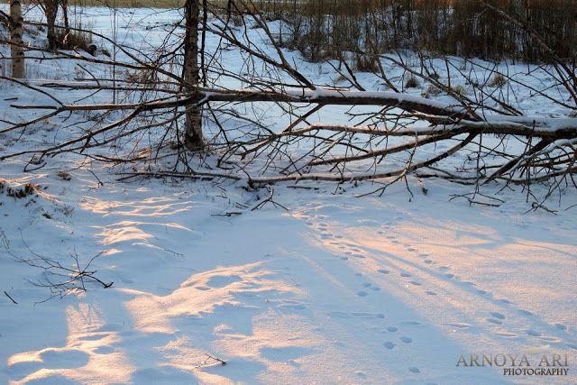 kaatunut puu, jäniksen jäjet, talvinen tie