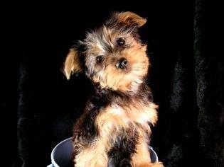 Australian Silky Terrier my-future-dog