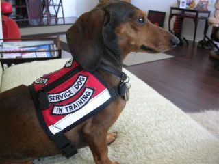 Image result for dachshund therapy dog