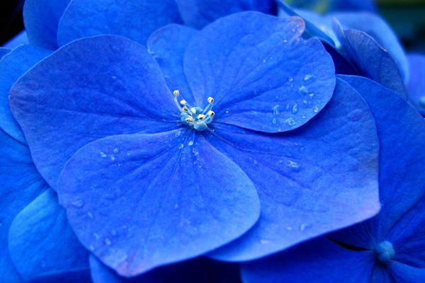 Close Up Of A Bright Blue Hydrangea Blue Hydrangea Flowers Blue Flowers Blue Flower Names