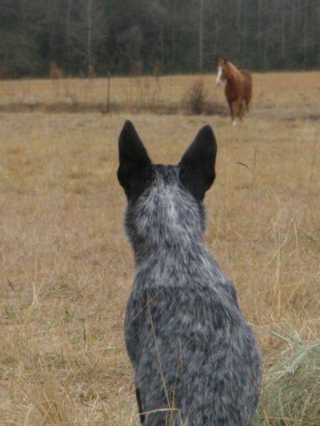 Astralian karjakoira ja hevonen