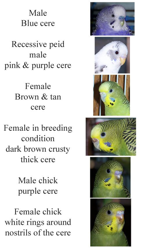 How to tell the sex of parakeets really