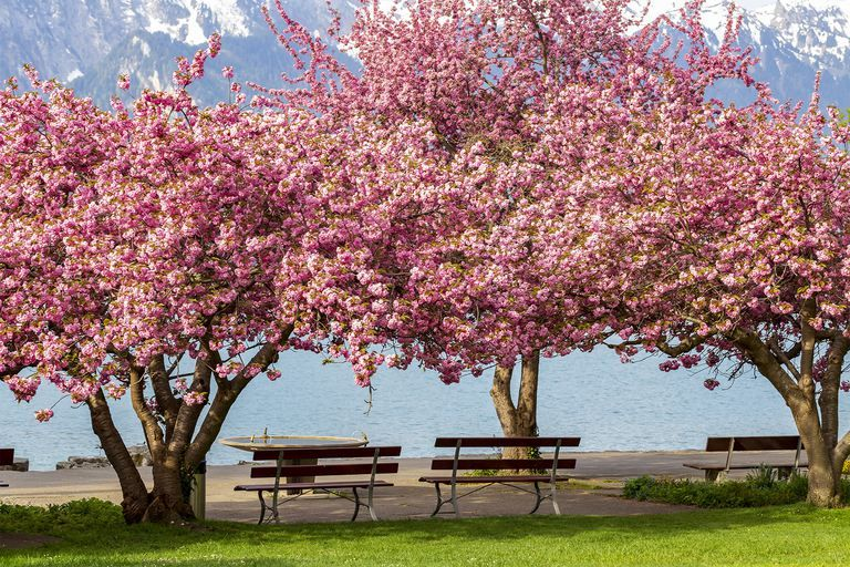 An Introduction To The Kwanzan Cherry Tree Flowering Cherry Tree Kwanzan Cherry Cherry Tree