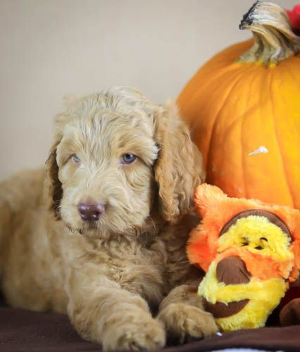Australian Labradoodle Puppy At Halloween From Sunrise Australian Labreadoodles Australian Labradoodle Puppies Labradoodle Puppy Labradoodle