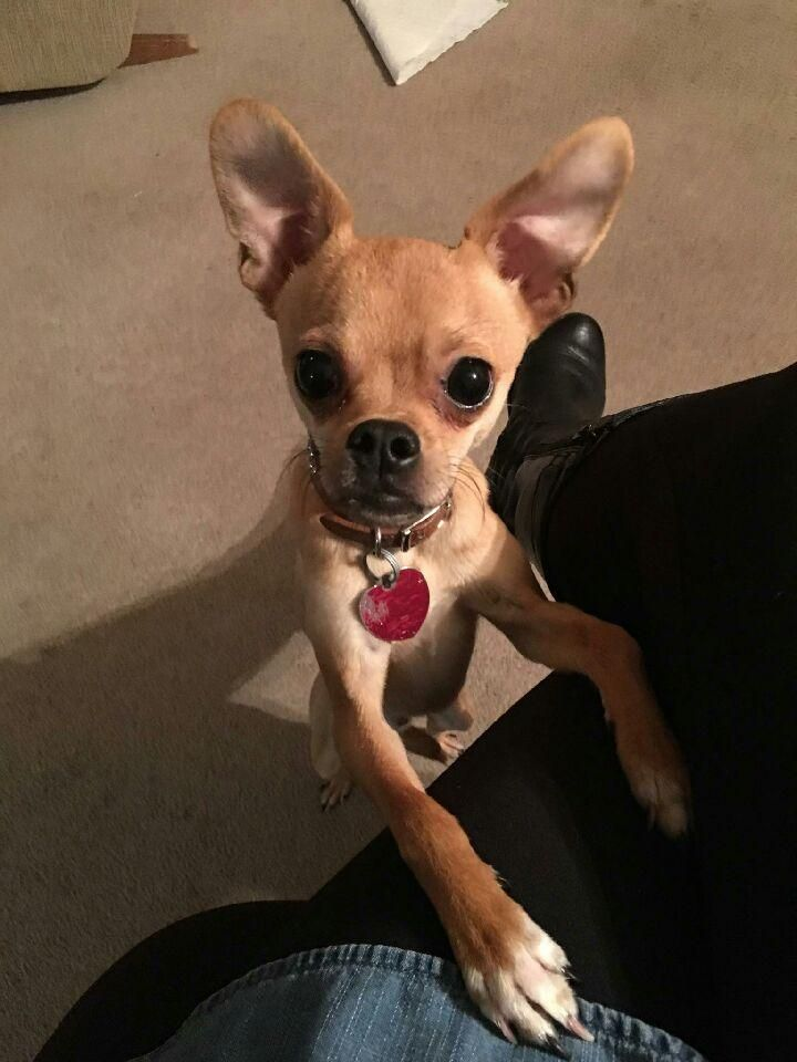 Adopt Sidney On Animals Animal Rescue Chihuahua Dogs