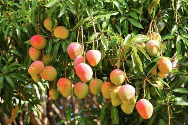 How To Grow A Mango Tree In A Pot Mango Plant Growing Fruit Trees Growing Fruit