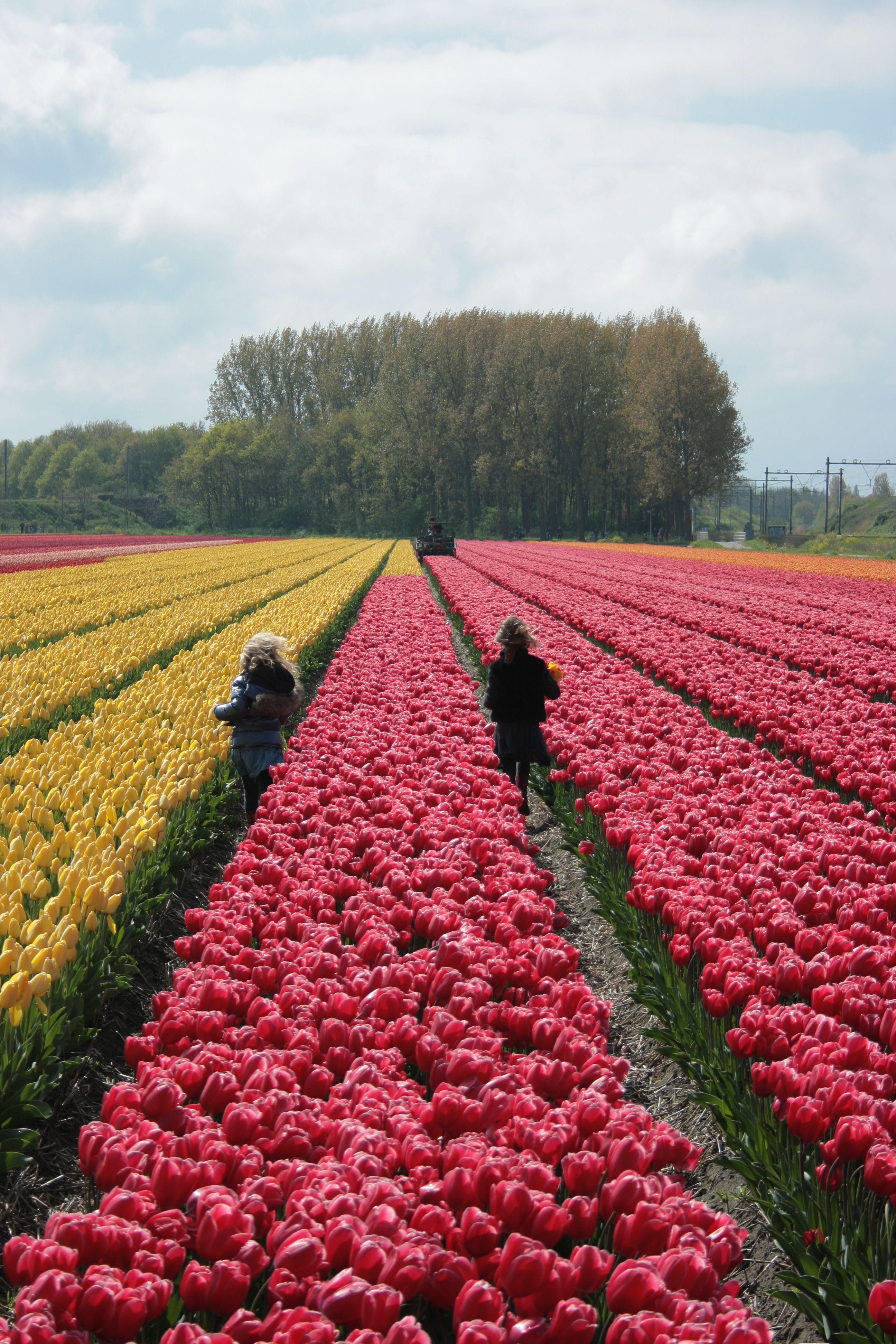 Endless Fields Of Tulips At Our Flower Farm In Holland The Kids Are Celbrating Spring Tulips Lisse Keukenhof Keukenhofga Tulpenvelden Nederland Amsterdam