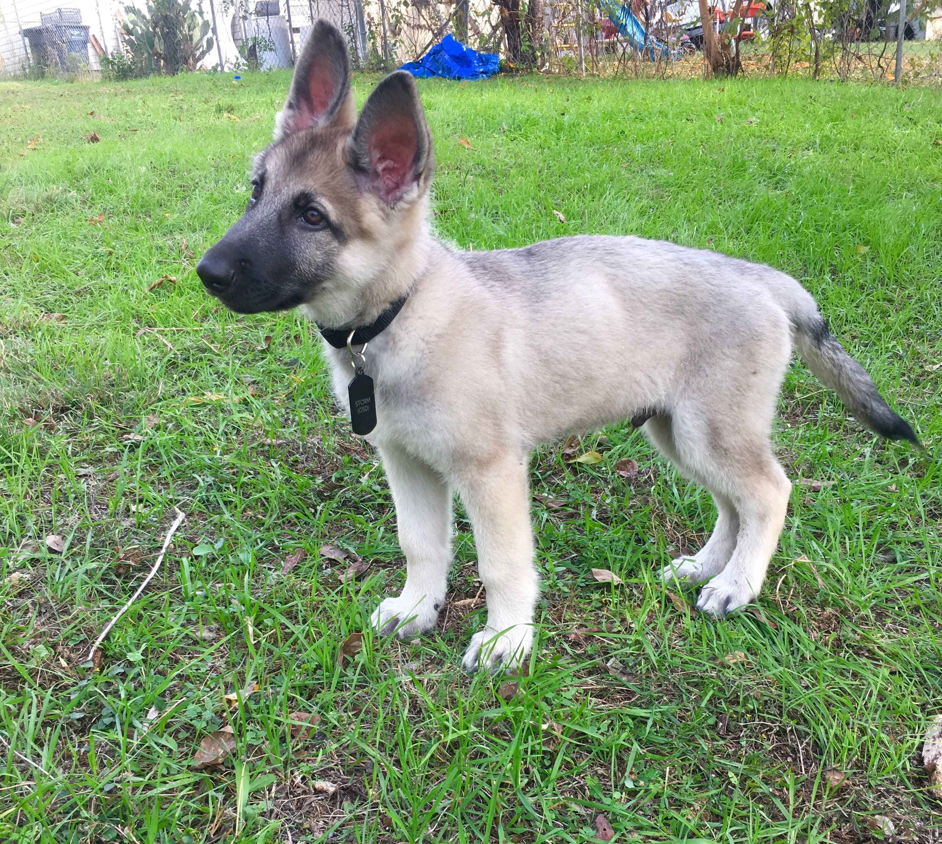German Shepherd Puppy Silver Sable at 2 Months ️ #GSD # ...