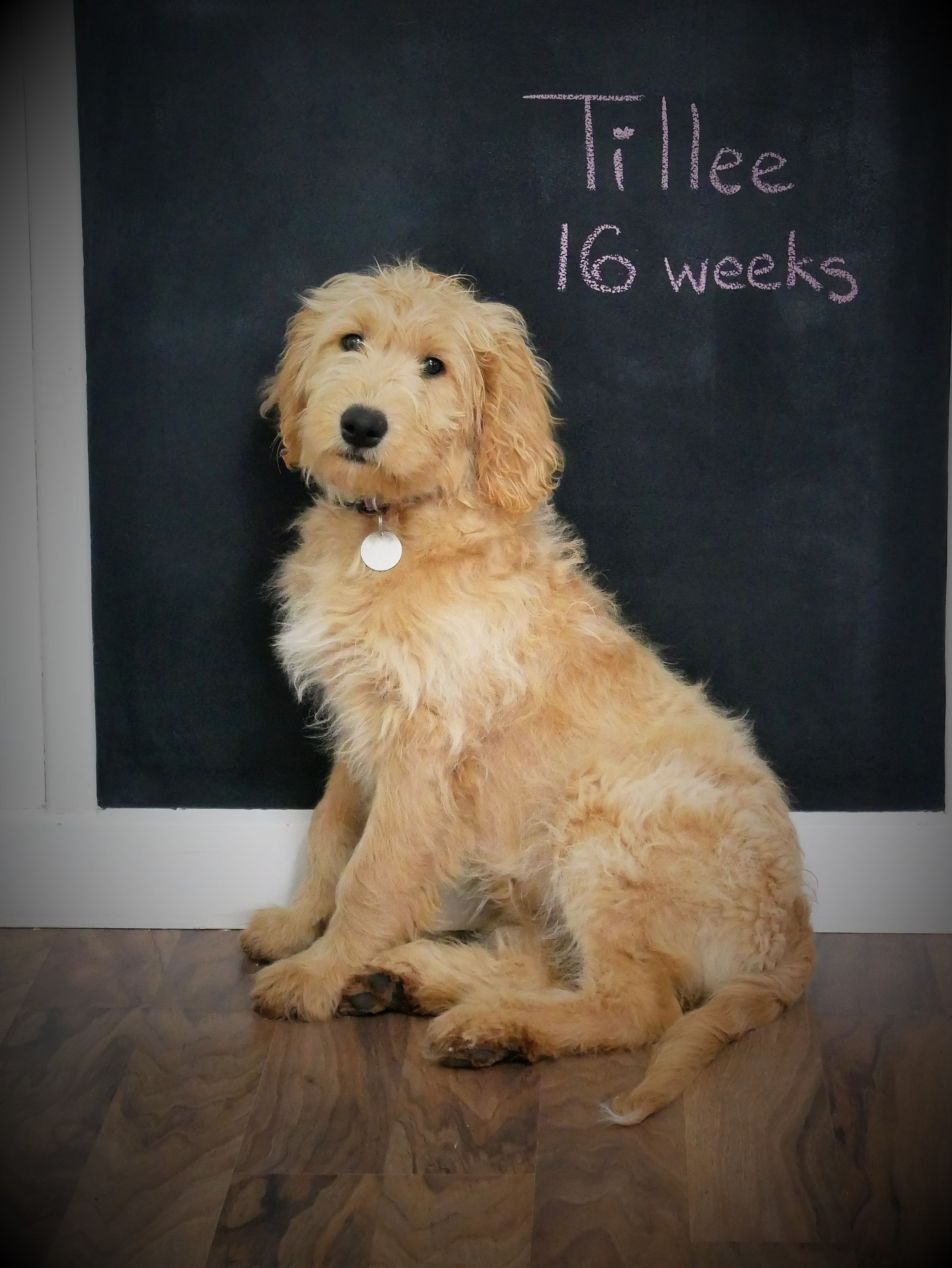 My Beautiful Groodle Goldendoodle Tillee At 16 Weeks