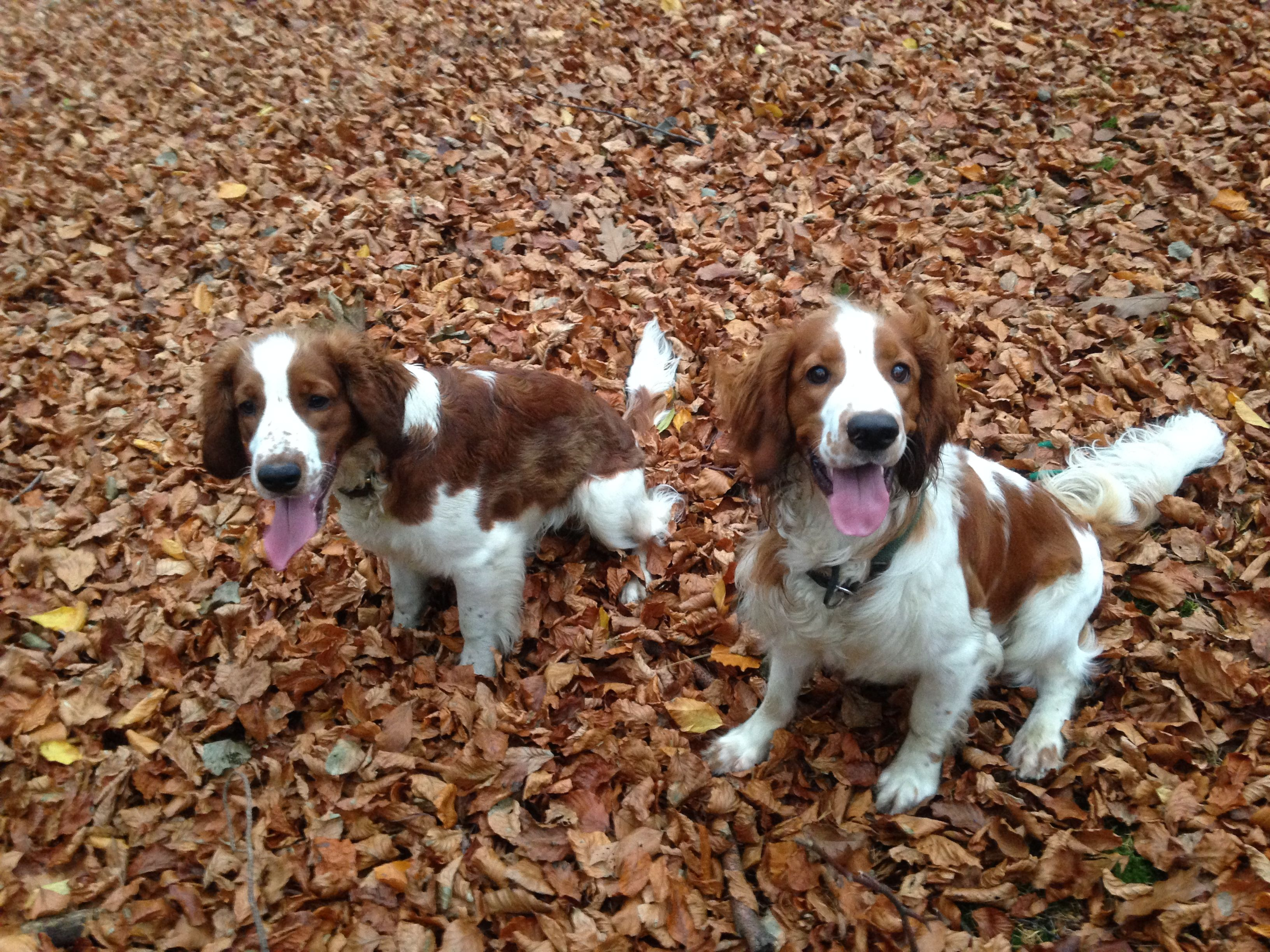 Milton And His Best Friend Enzo Welshspringerspaniel Welsh Springer Spaniel Springer Spaniel Spaniel