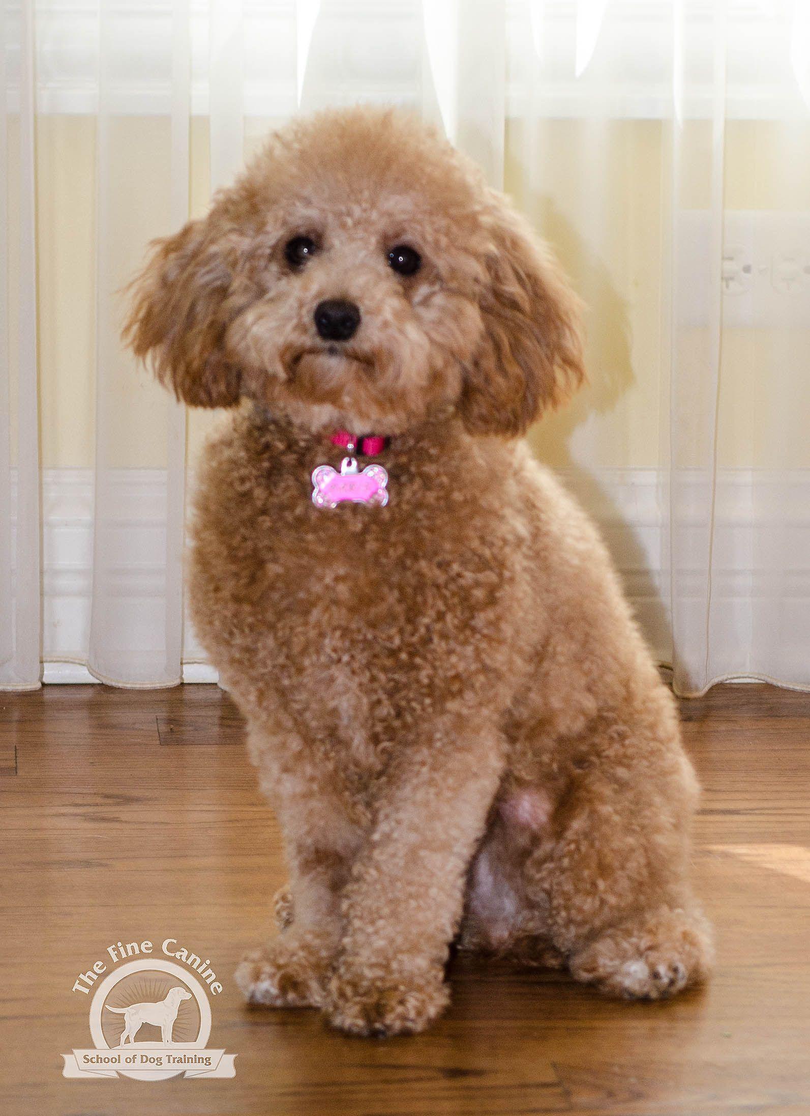 Paris The Minature Poodle Boarding School Graduates Pinterest
