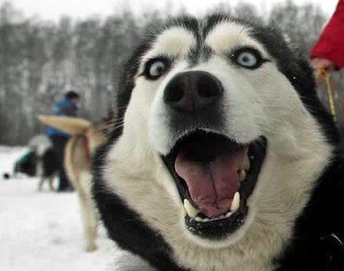 Resultado de imagen para husky expressions