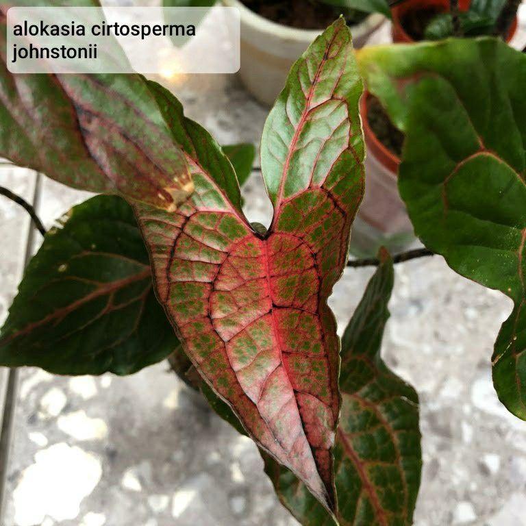 Alokasia Cirtosperma Johnstonii