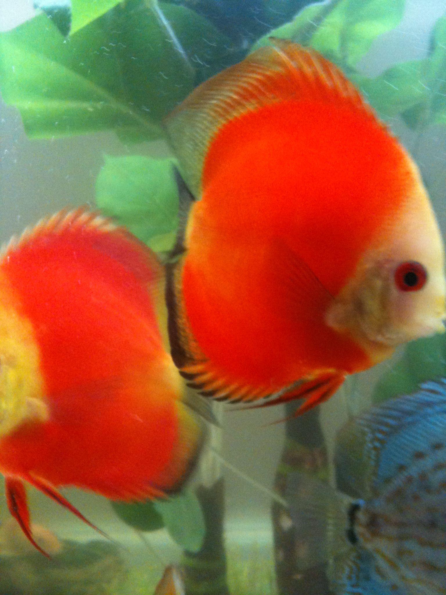 2012-11-05 Orange Melons | Tropical fish and aquariums | Pinterest ...